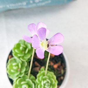 ムシトリスミレ 花