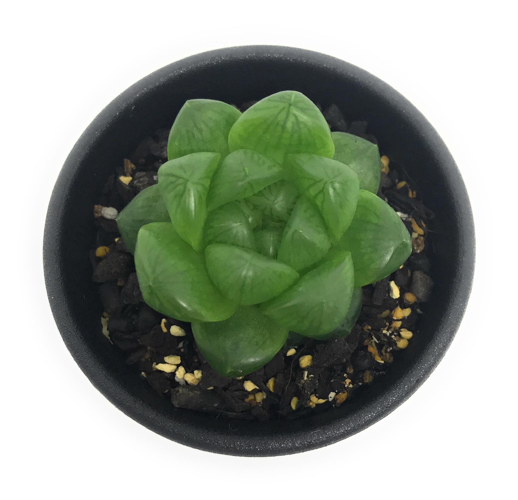 多肉植物 ハオルチア ウンブラティコーラ