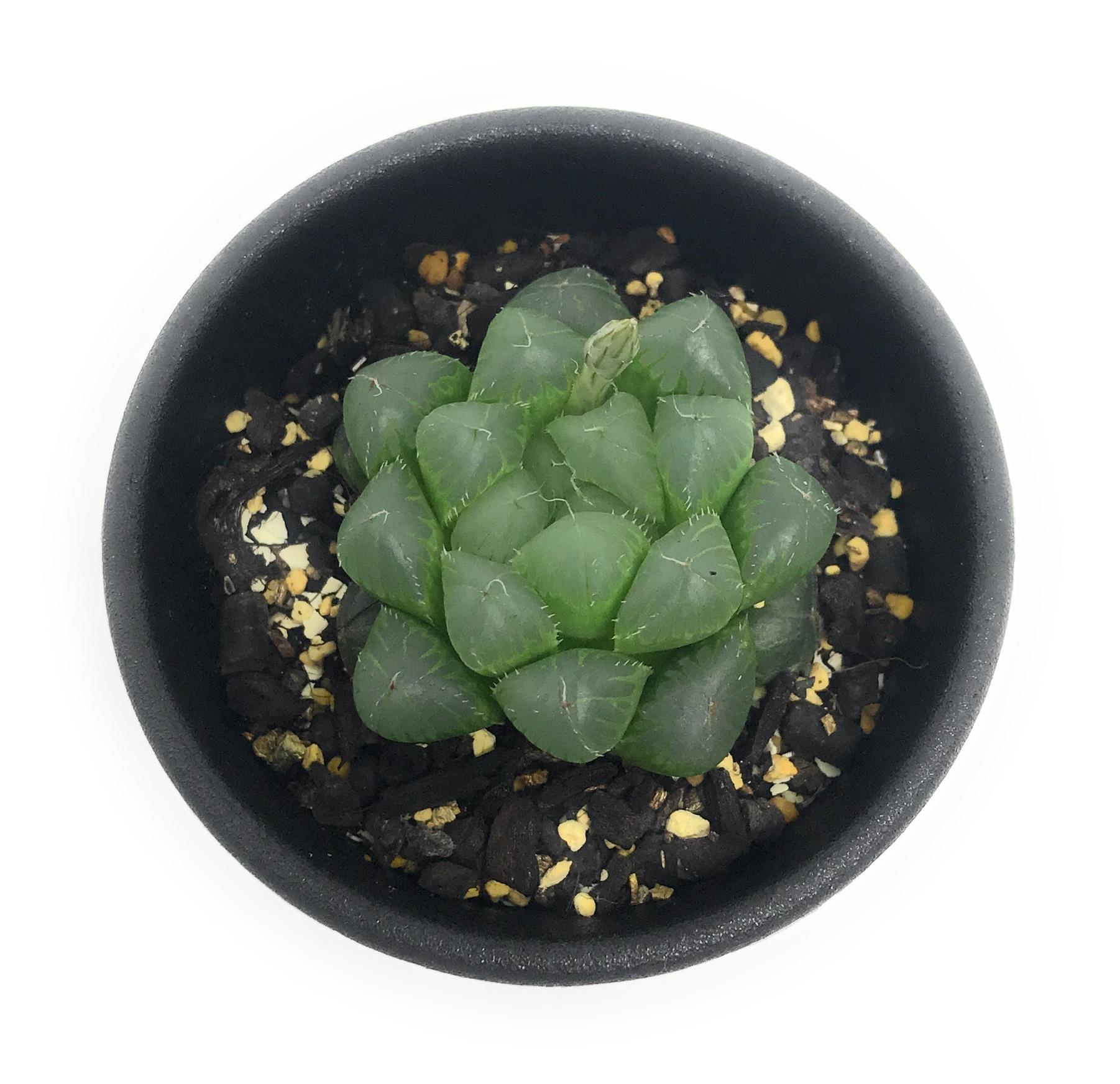 多肉植物 ハオルチア 青水晶 2.5号鉢