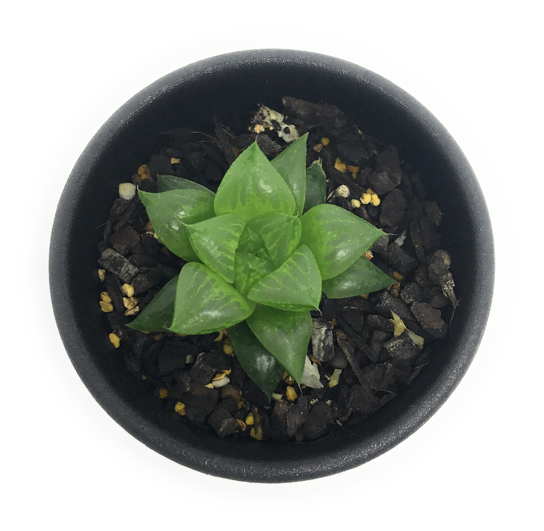 多肉植物 ハオルチア 玉緑 2.5号鉢
