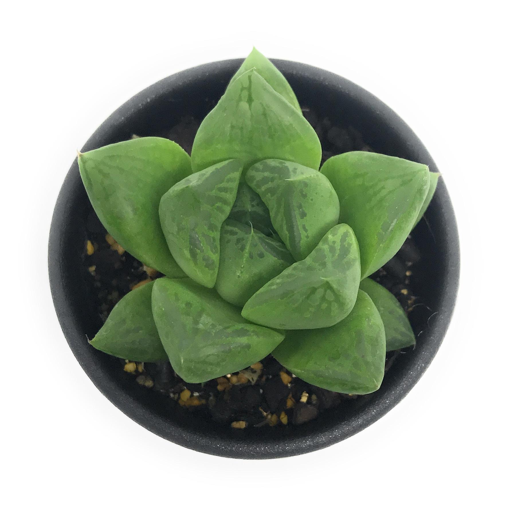 多肉植物 ハオルチア 宝草 2.5号鉢