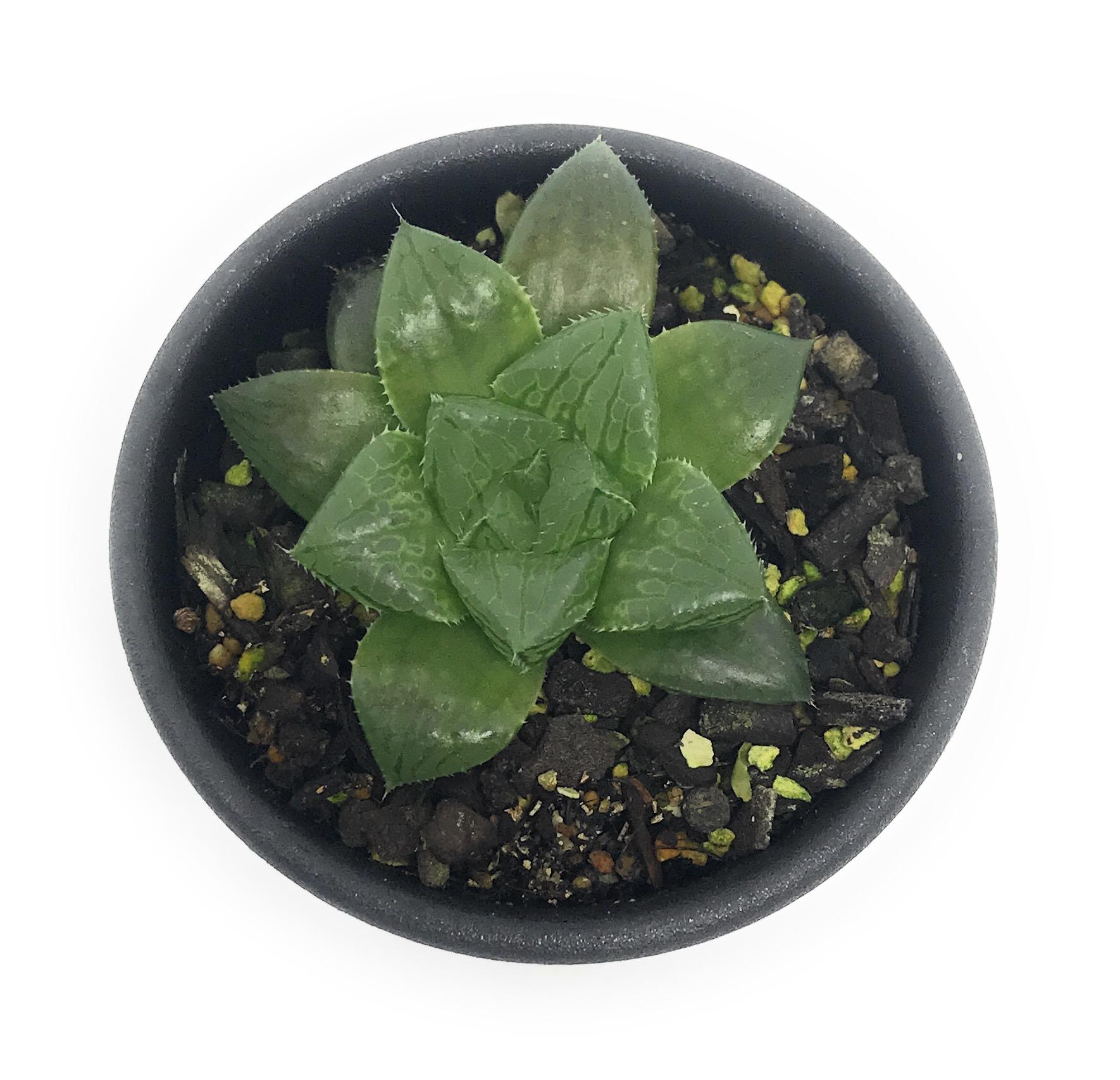 多肉植物 ハオルチア レットブル 2.5号鉢