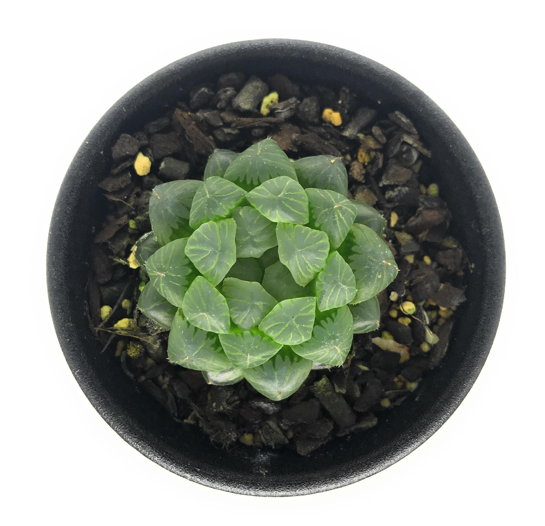 多肉植物 ハオルチア 雫石 2.5号鉢