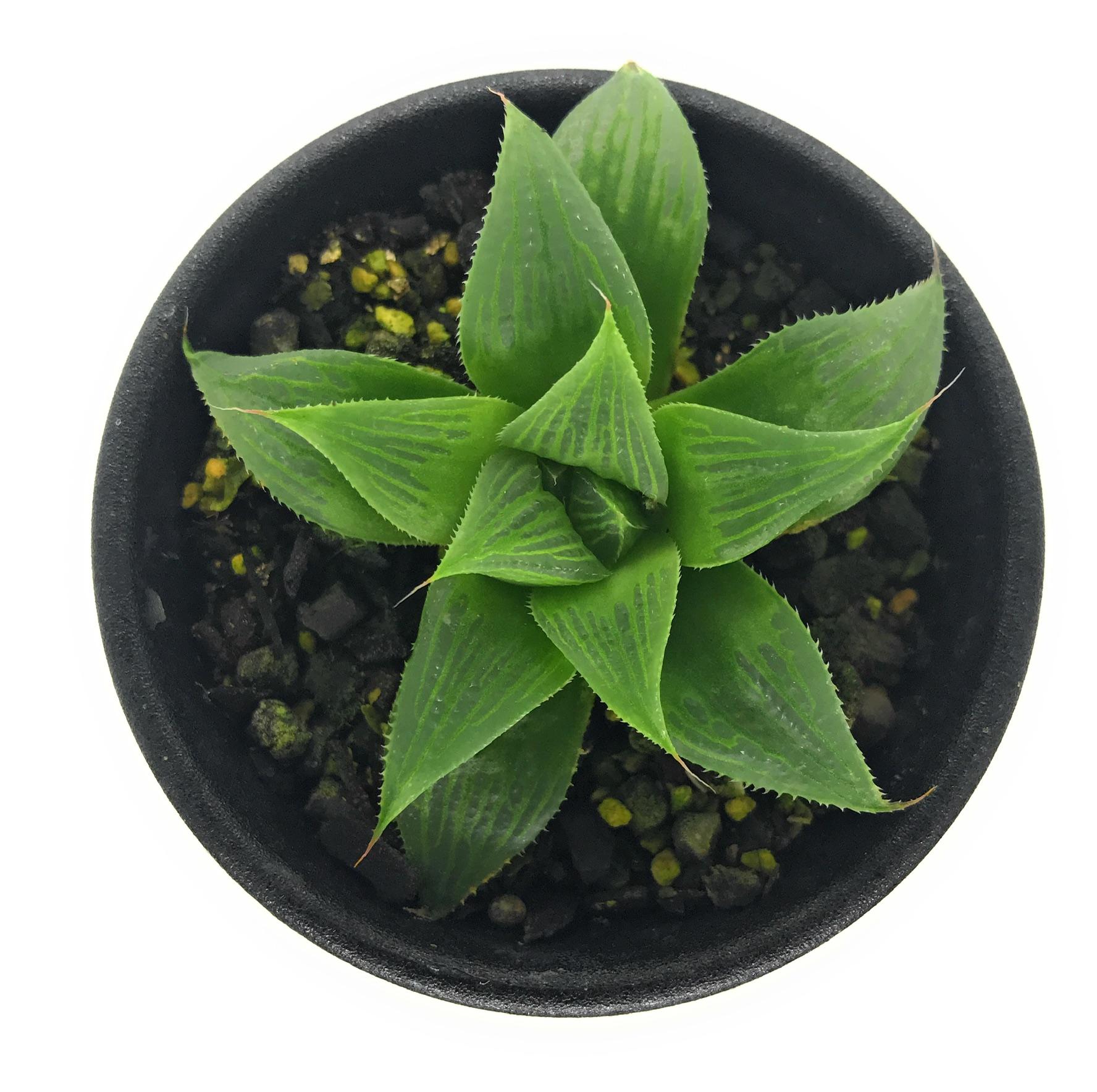 多肉植物 ハオルチア マグニフィカ 交配種 2.5号鉢