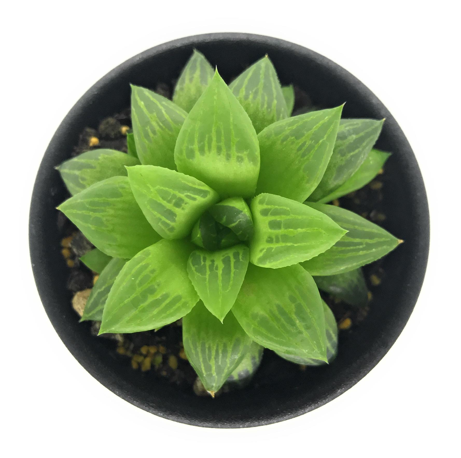 多肉植物 ハオルチア エメラルドフラッシュ 2.5号鉢