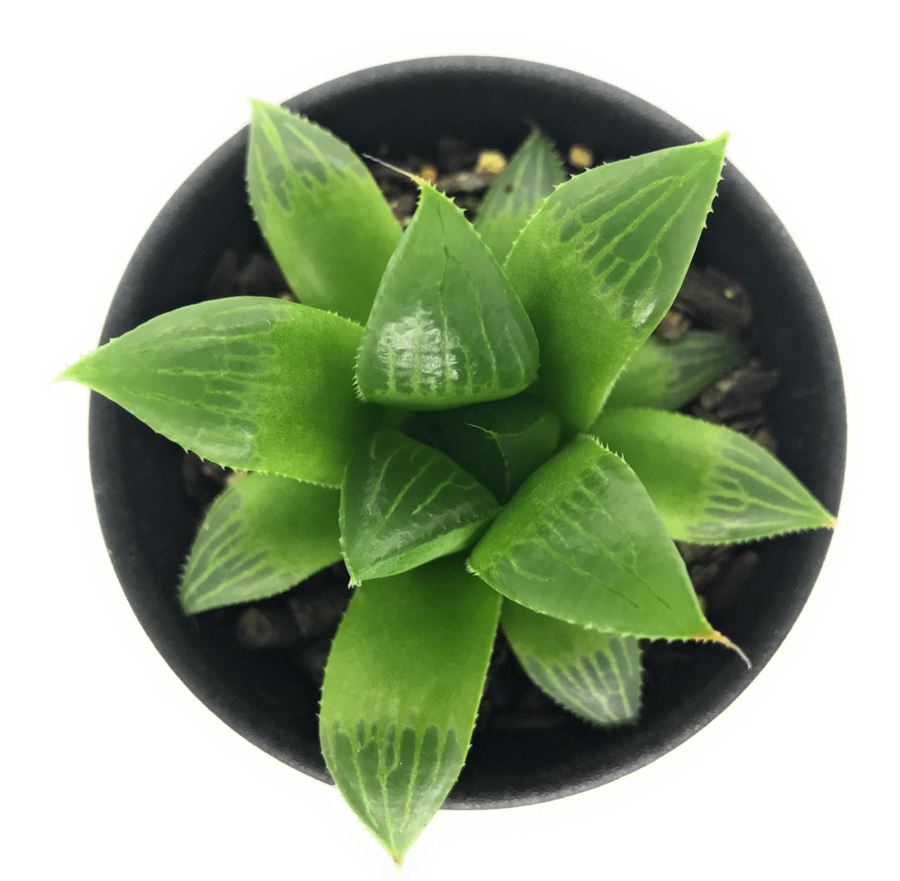 多肉植物 ハオルチア グリーンレツーサ 2.5号鉢