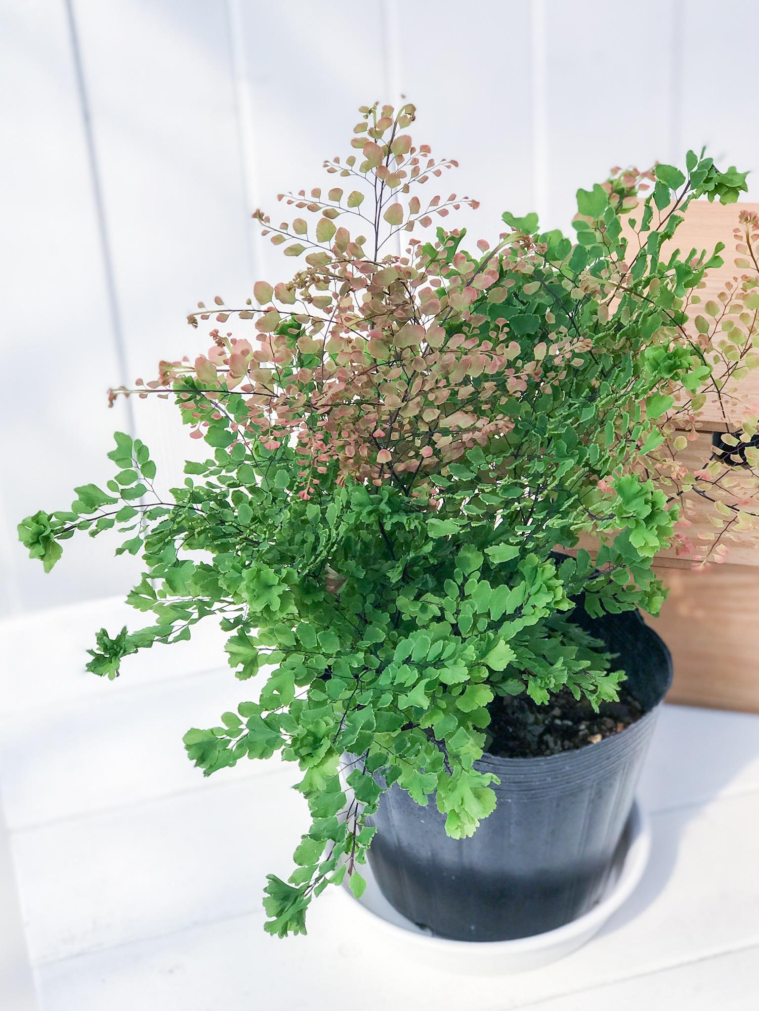観葉植物 アジアンタム ピーコック 5号ポット PG200041