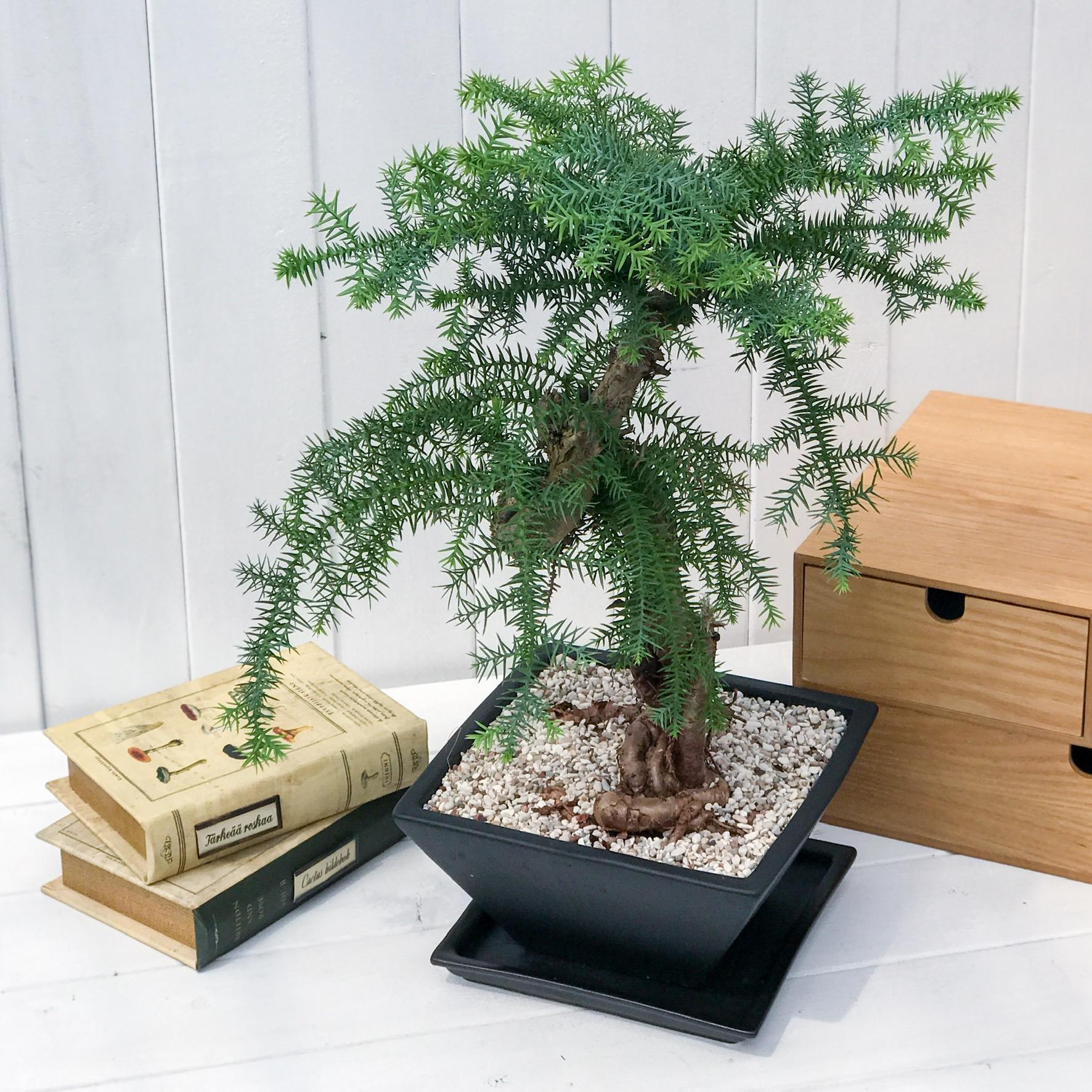 ナンヨウスギ 盆栽