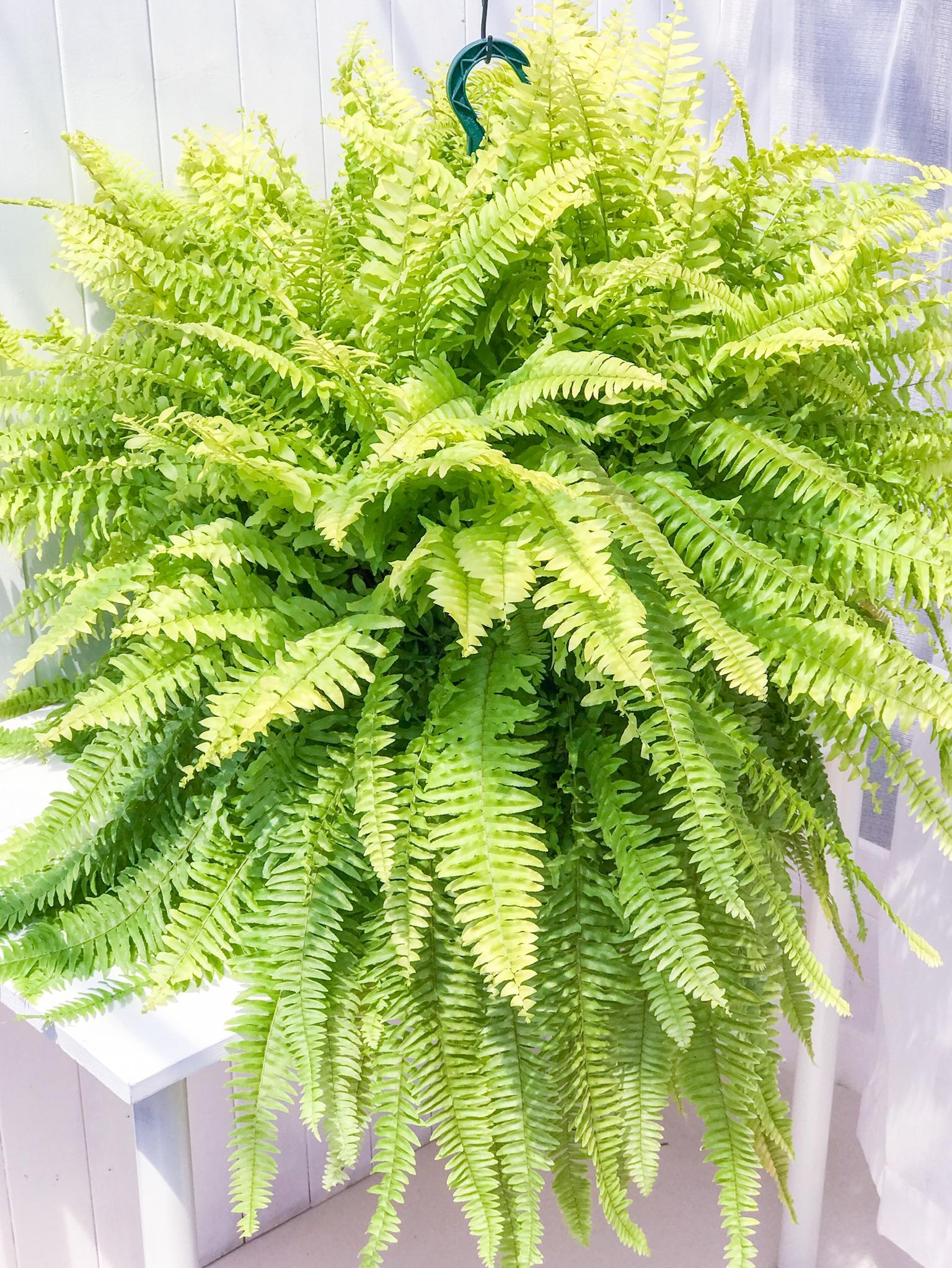 観葉植物 シダ ネフロレピス ハッピーゴールデン 7号吊り鉢 Nephrolepis exaltata sp.