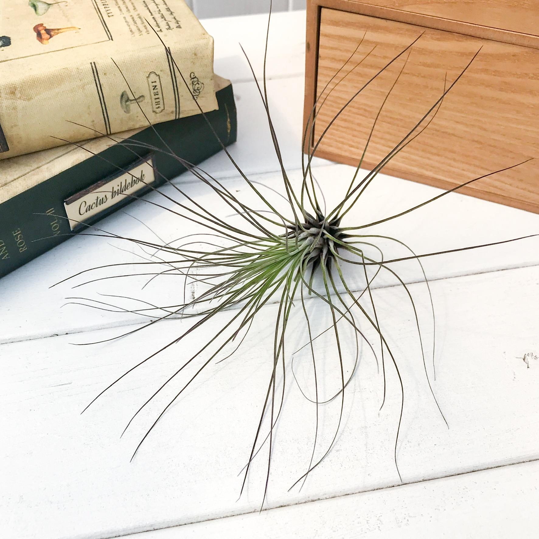 チランジア フィリフォリア Lサイズ