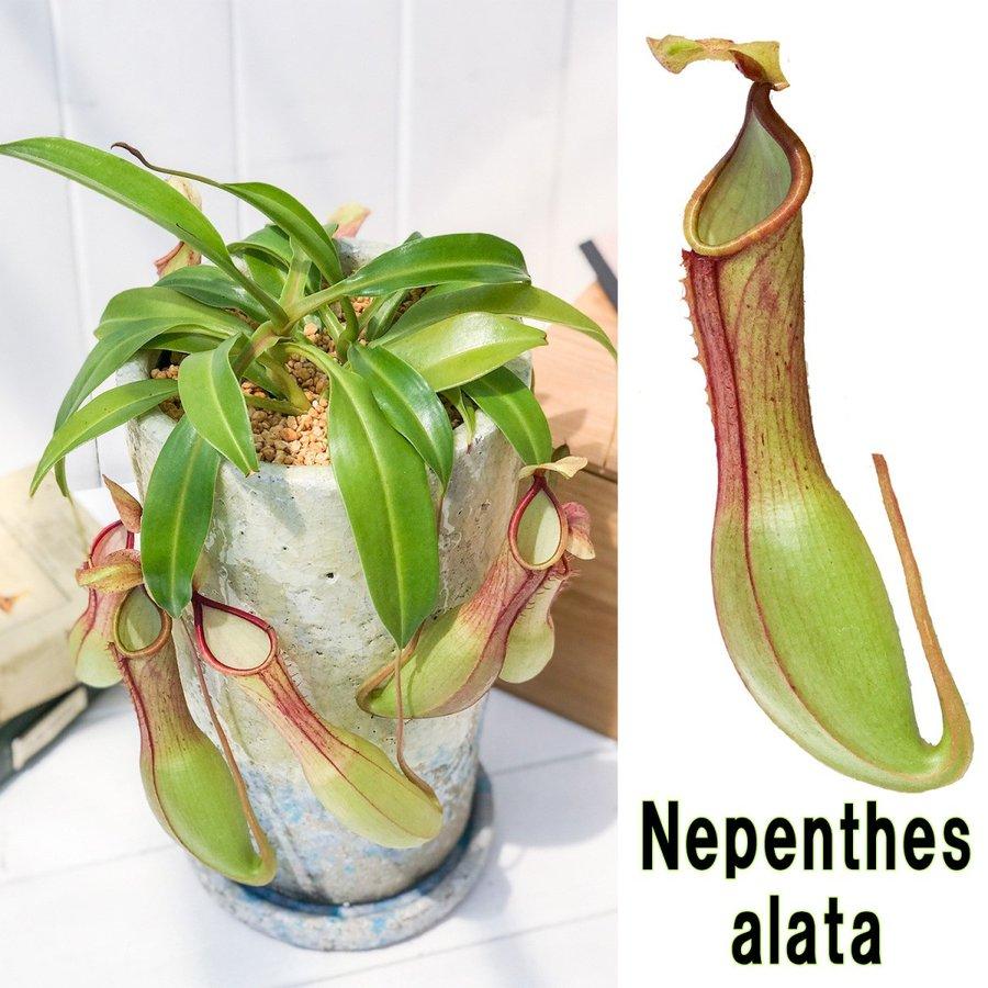 ネペンテス アラタ