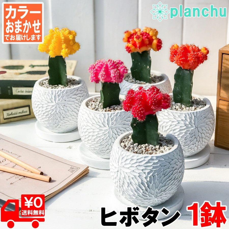 緋牡丹 陶器鉢植え ひぼたん ギムノカリキウム 観葉植物 オシャレ 丈夫 初心者向き