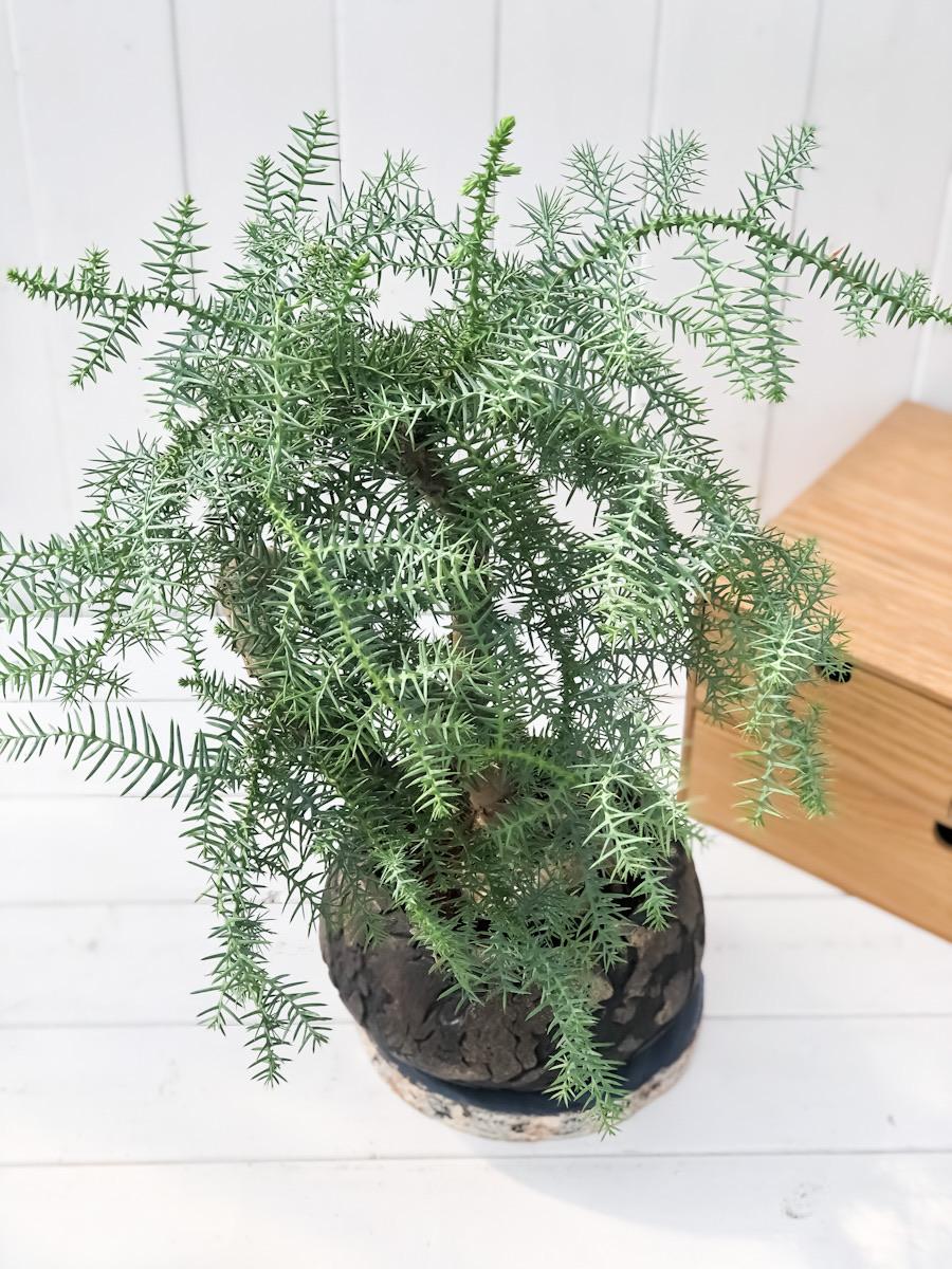 観葉植物 アローカリア おしゃれな陶器鉢植え 受け皿付