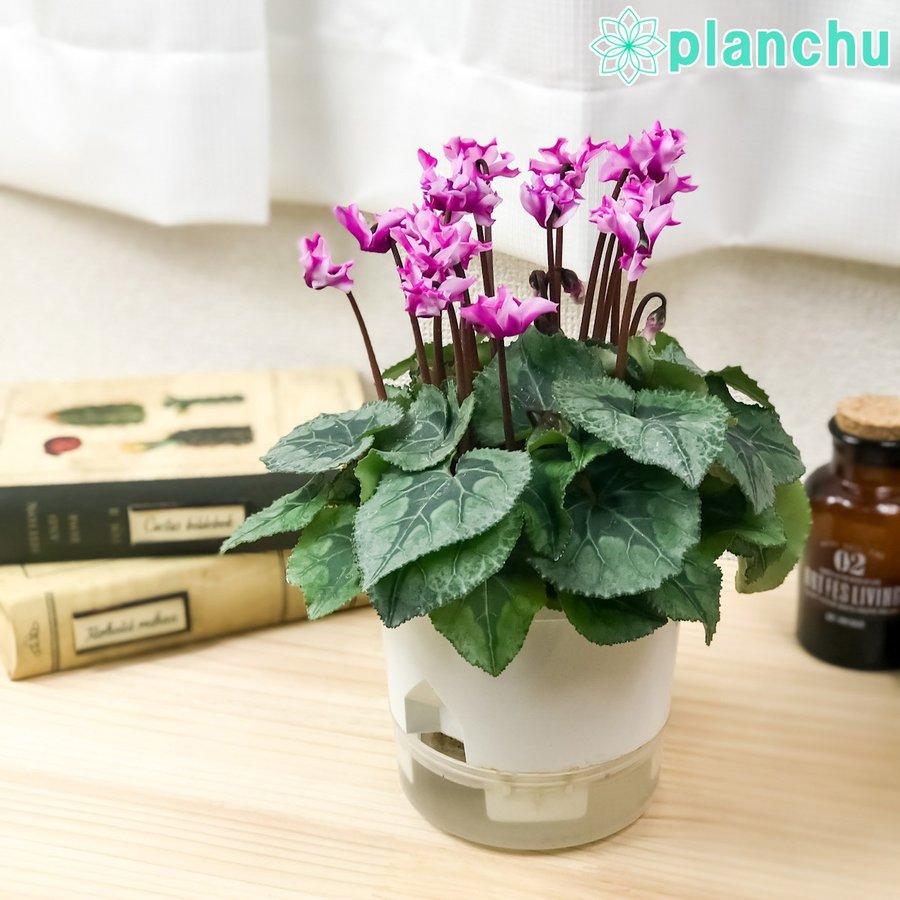 冬の鉢花 シクラメン メティス オリガミが底面式吸水で育てやすくなって登場!!