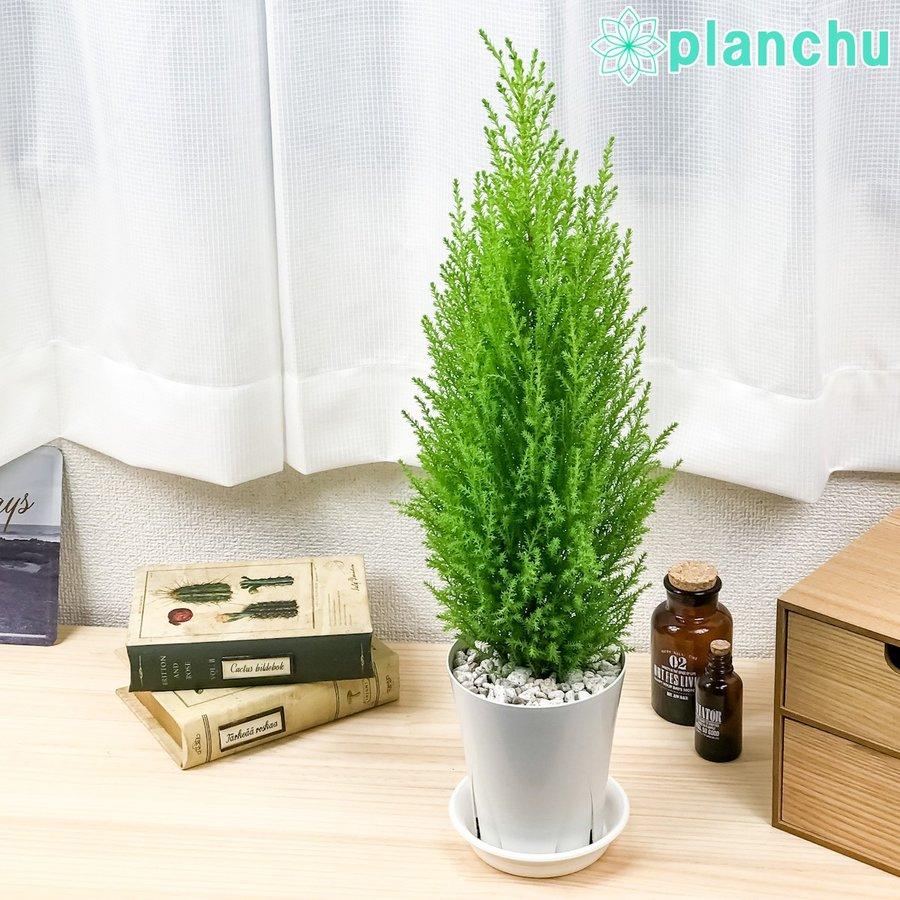 観葉植物 コニファー ゴールドクレスト ウィルマ 4号鉢 Cupressus macrocarpa 'Wilma' 庭木 植木 針葉樹 クリスマスツリー