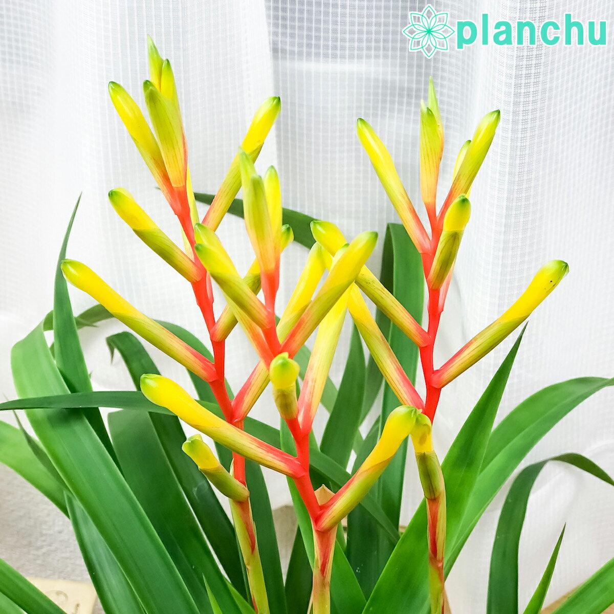 レア品種!観葉植物 ブロメリア グズマニア ディシティフローラ メジャー 3本立ち 開花株 4.5号鉢 受け皿付き Guzmania dissitiflora 'Major'
