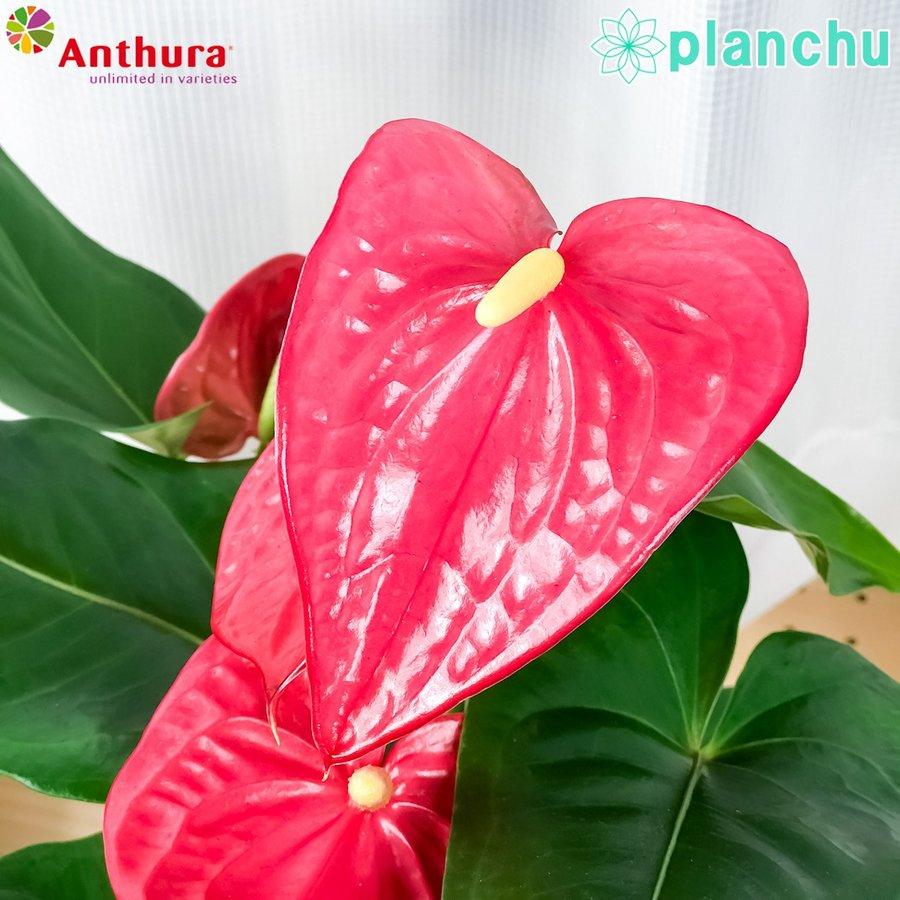 観葉植物 アンスリウム メイン 6号鉢 底面吸水鉢タイプ Anthurium andraeanum アンスリューム 鉢花 アンスラ Anthura