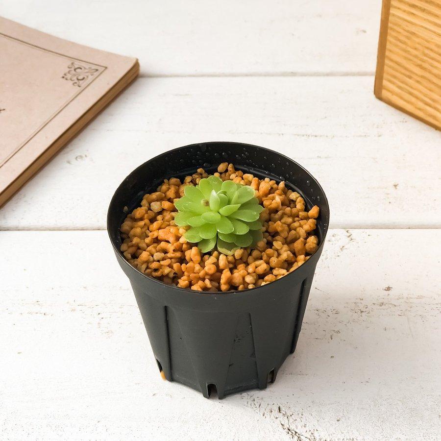 食虫植物 ムシトリスミレ ピンギキュラ エセリアナ 2号鉢 Pinguicula esseriana