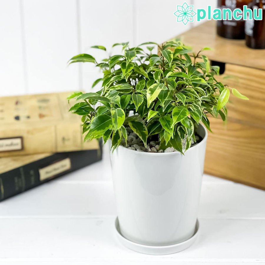 春におすすめ 小型の観葉植物 フィカス ベンジャミン ラブリー 小さくて場所を取りません